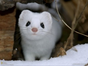 ermine-hd-wallpaper_1204000692